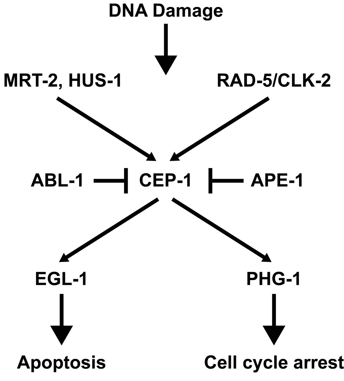 Genes involved in the germline DNA damage-induced checkpoints figure 1