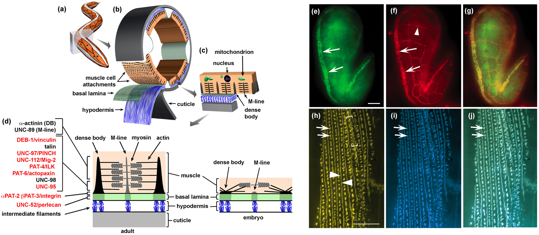 Sarcomere assembly in C. elegans muscle