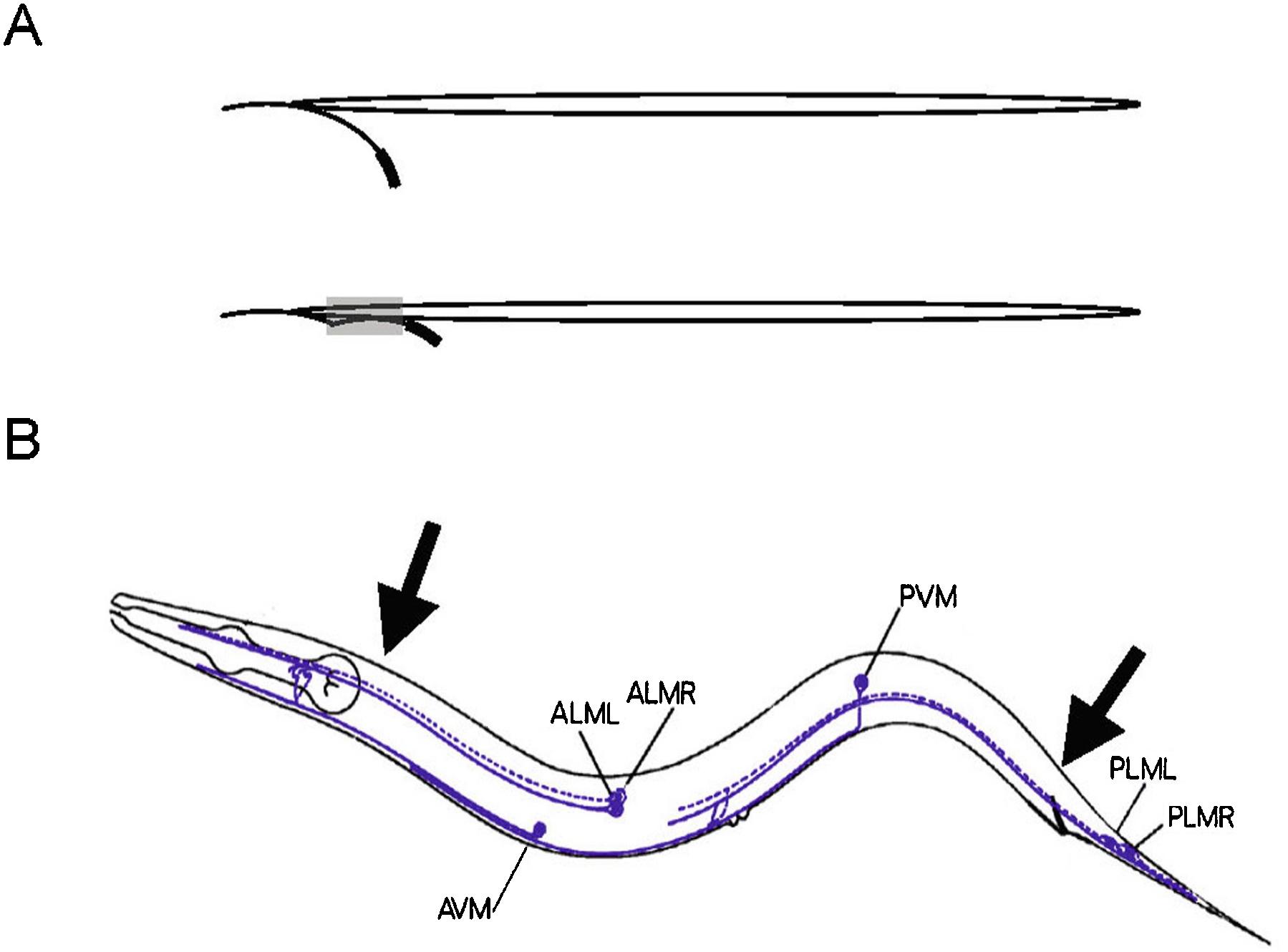 Assaying Mechanosensation Oliver 60 Wiring Diagram Figure 1