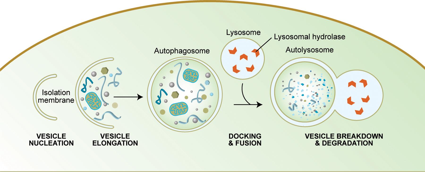Autofagosytoosi