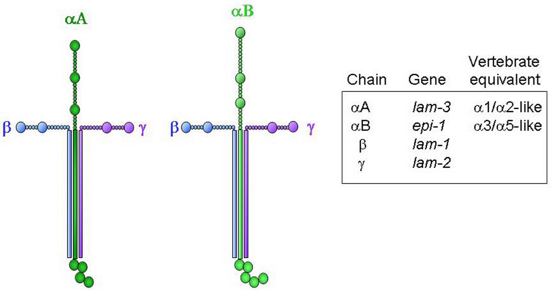 basement membranes rh wormbook org Laminin Under Microscope laminin molecule structure