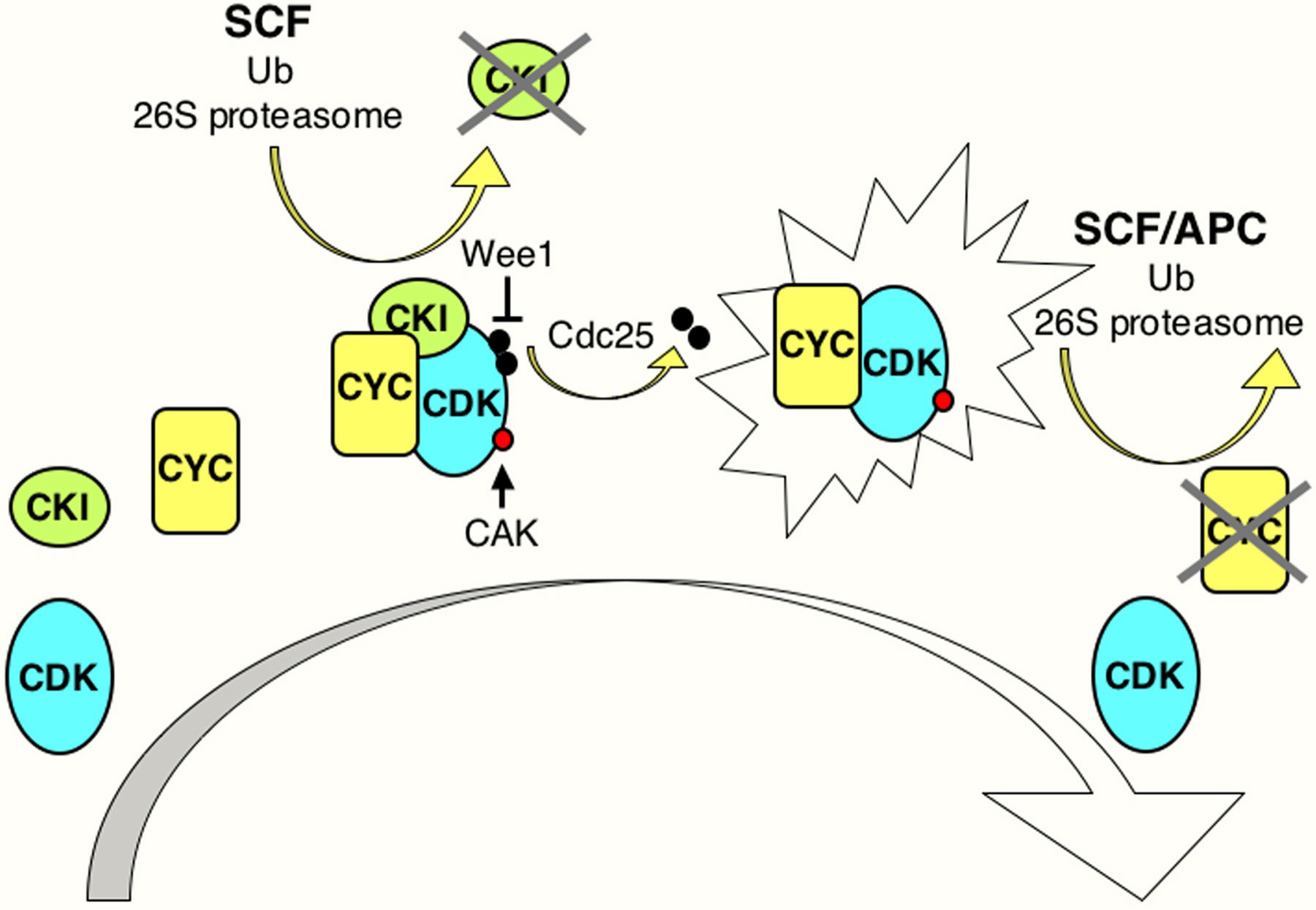 Cell cycle regulation figure 2 ccuart