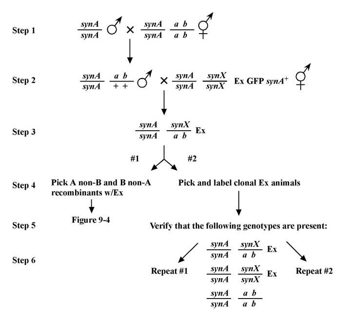 clicalgenmethods_Fig26_s Genetics Map Units on pedigree chart, map unit biology, dihybrid cross, monohybrid cross, test cross, punnett square, wild type, map units gene mapping, map genetic diseases, genetic screen, reciprocal cross,