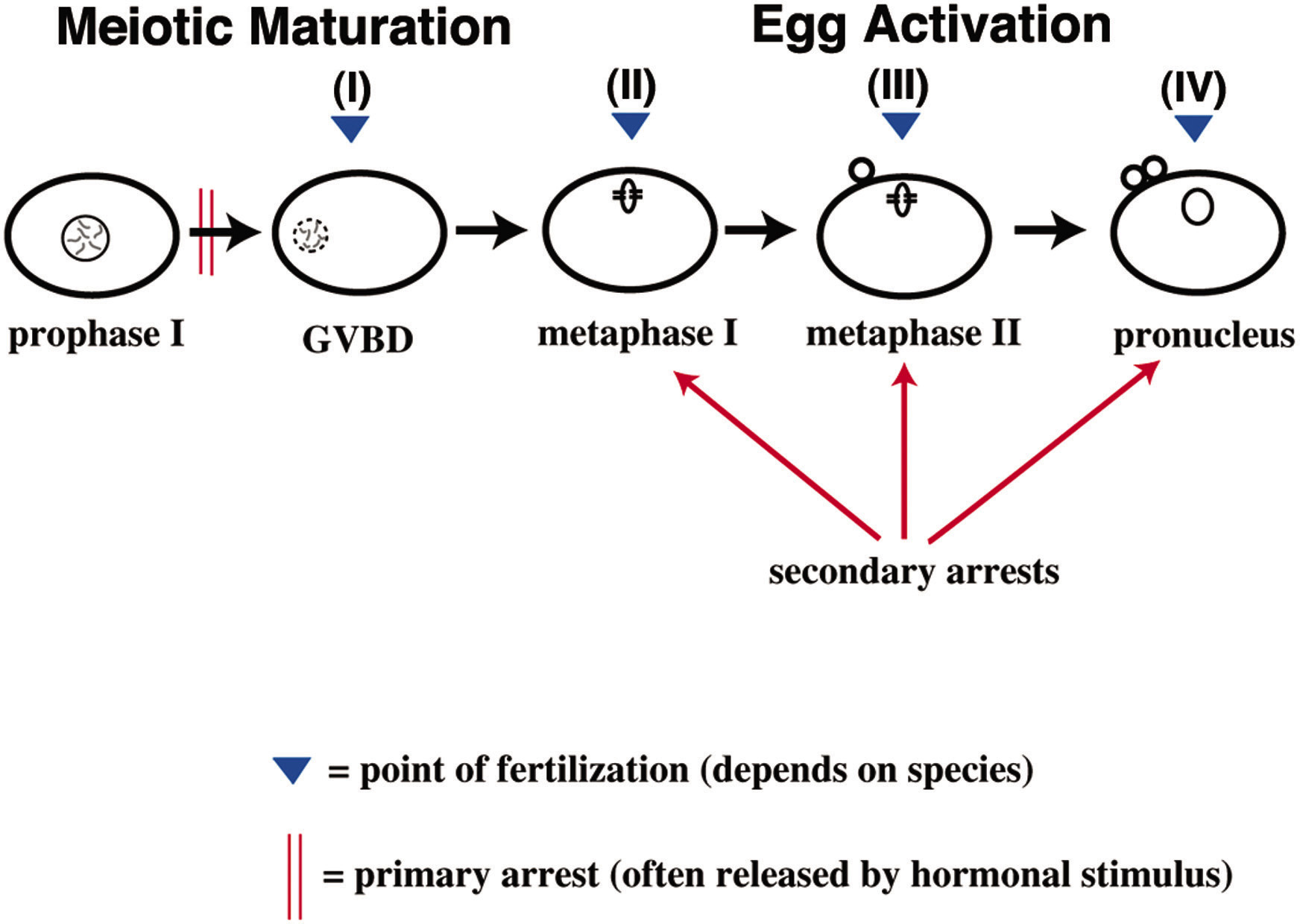 Control Of Oocyte Meiotic Maturation And Fertilization