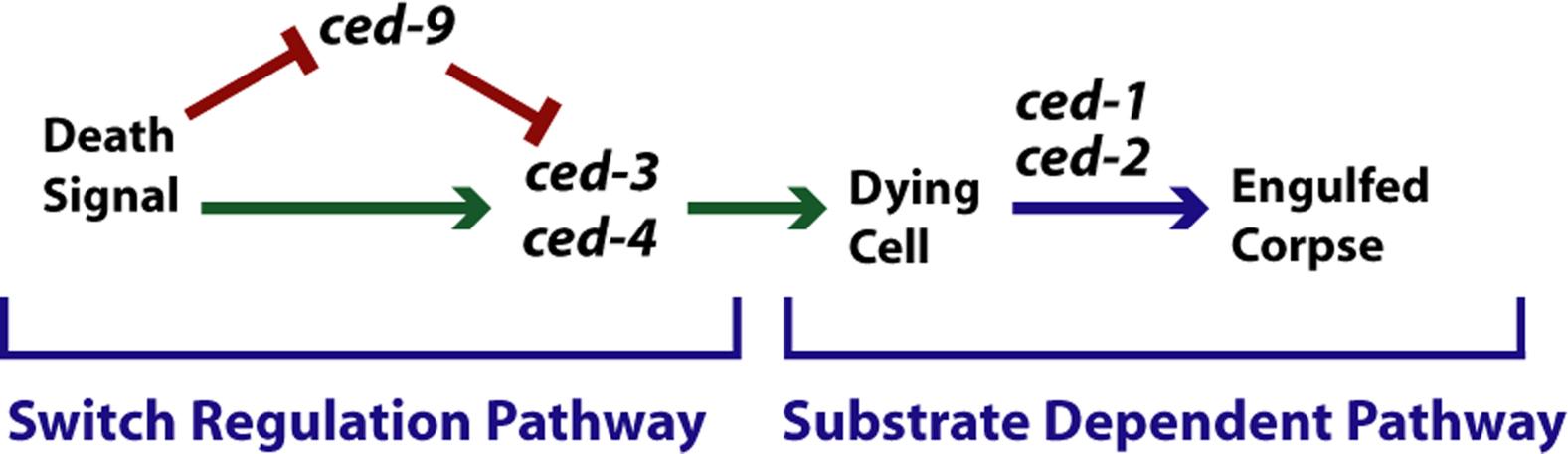Genetic dissection of developmental pathways