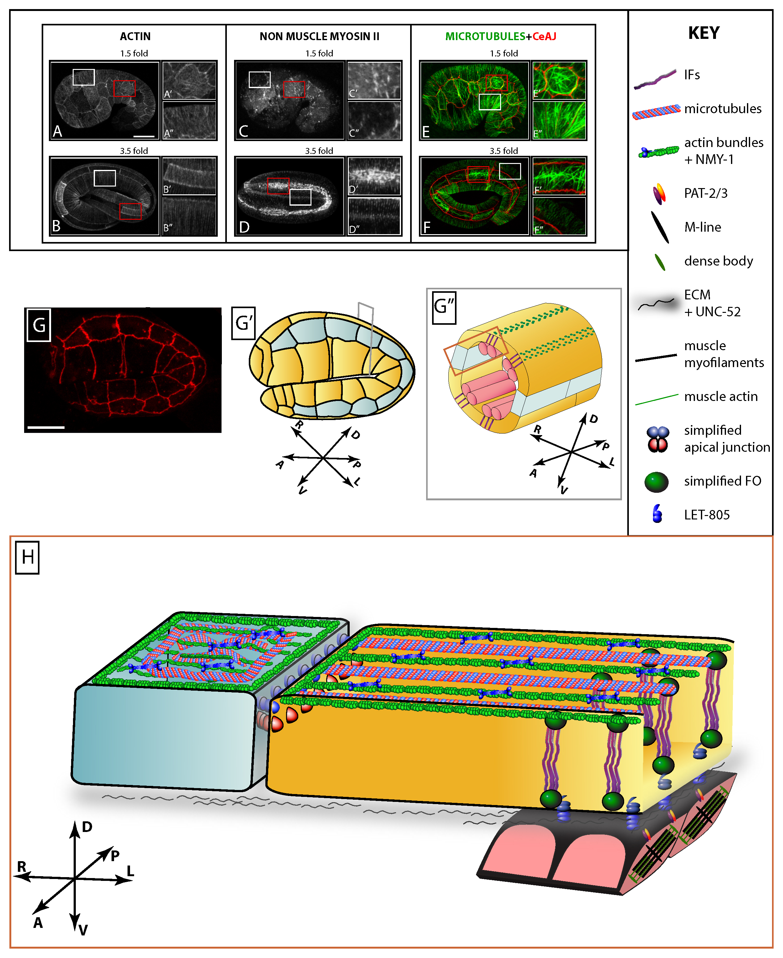 epithelial junctions cytoskeleton and polarity