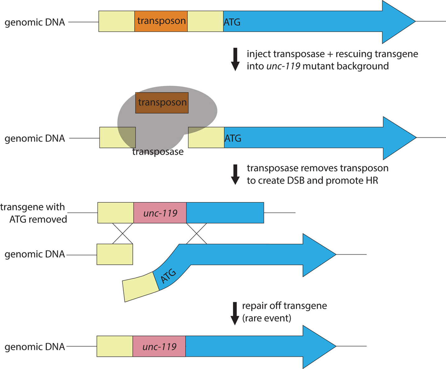 forward and reverse mutagenesis in c elegans targeted gene deletions using transposons to generate a targeted gene deletion a transposase and a rescuing transgene containing a selection marker in