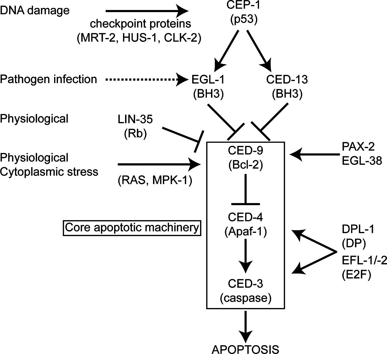 germline survival and apoptosis