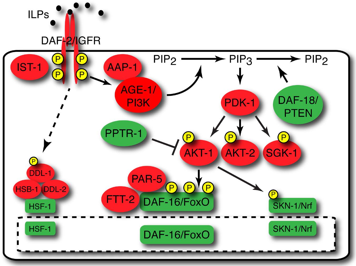 Insulin/insulin-like growth factor signaling in C  elegans