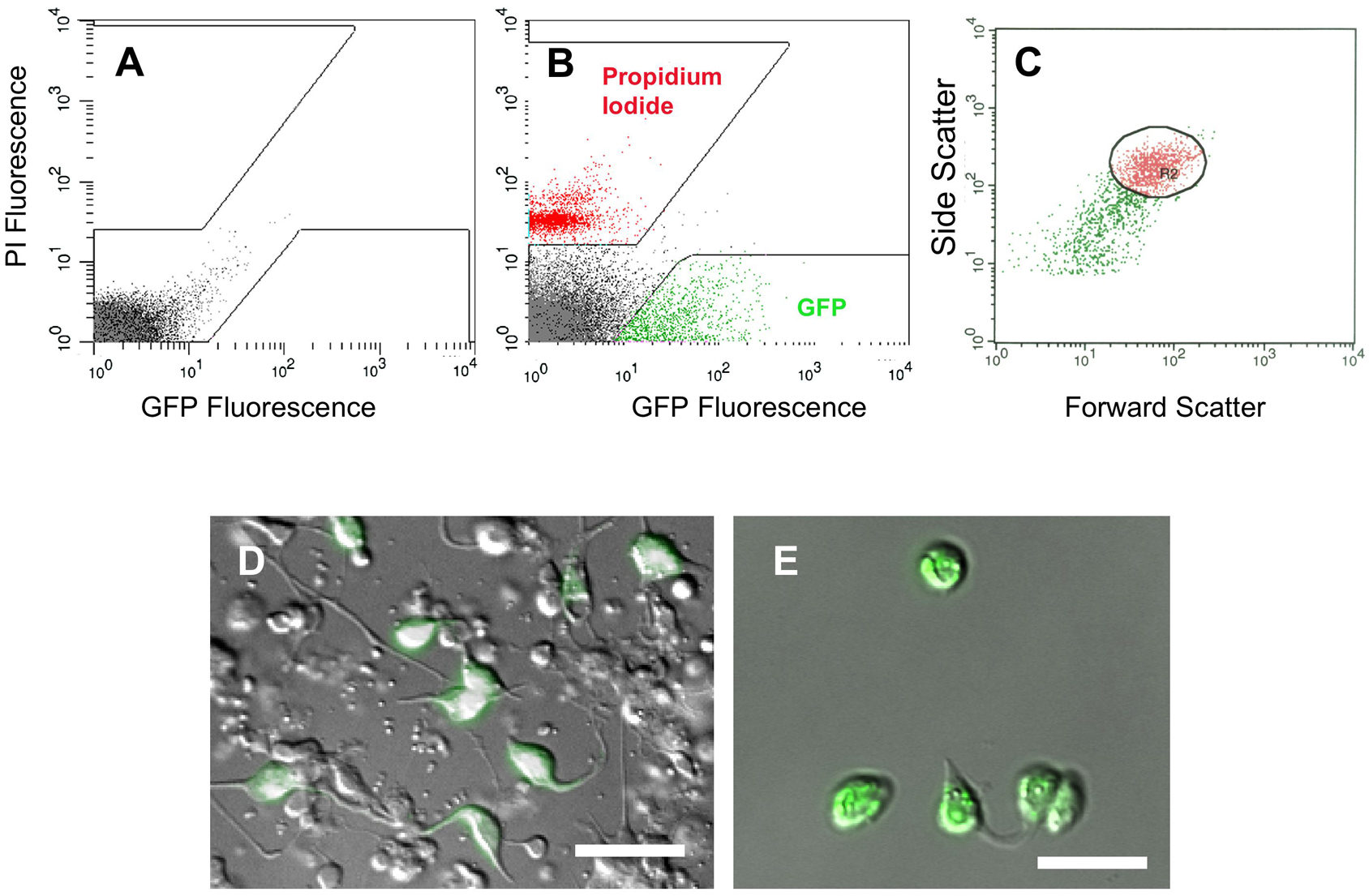 Methods In Cell Biology Molecular Expressions Bacteria Structure Isolation Of Embryonic Muscle Cells By Facs A Fluorescence Intensity Profile Wildtype Non Gfp Boxed Areas Exclude Autofluorescent