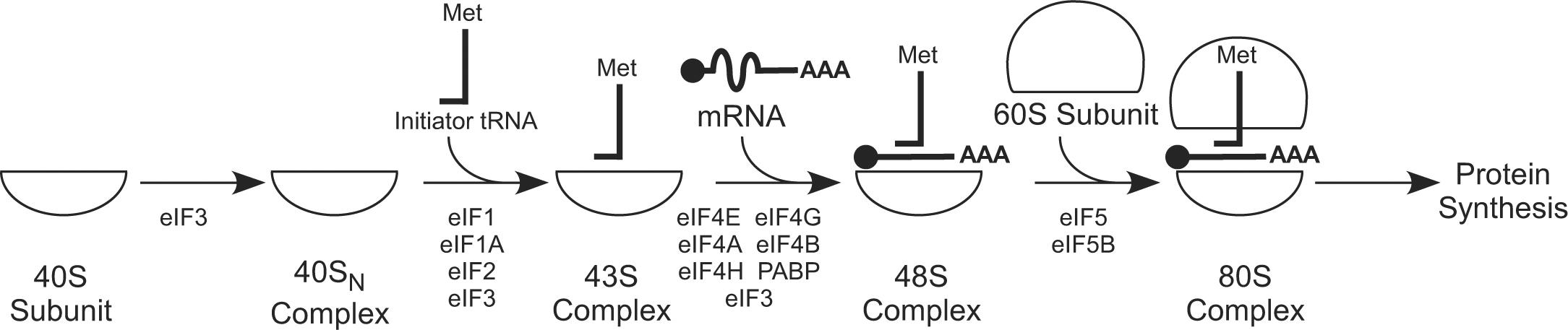 Mechanism and regulation of translation in C  elegans