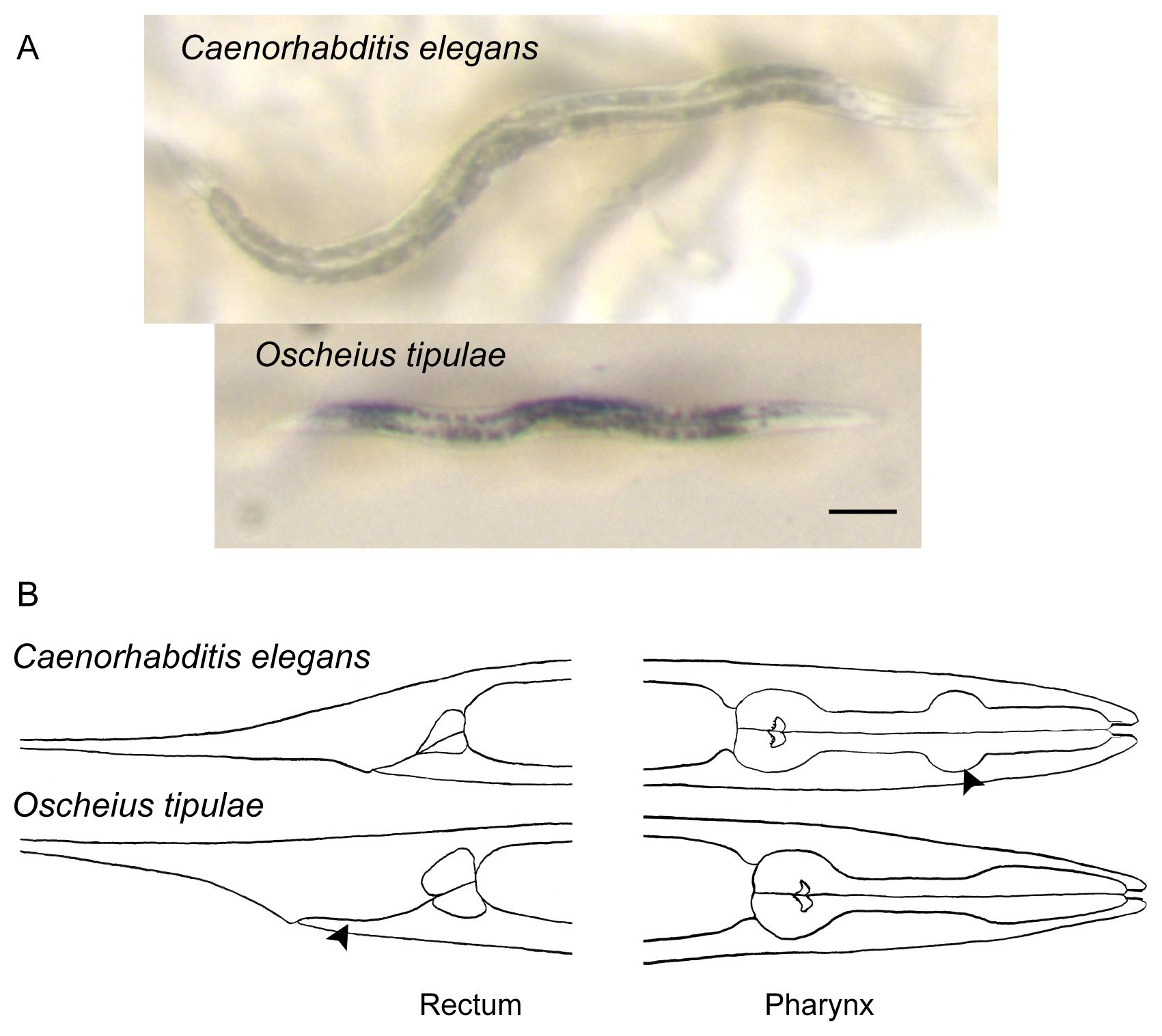 Dezvoltarea nematodului uman. Traducere