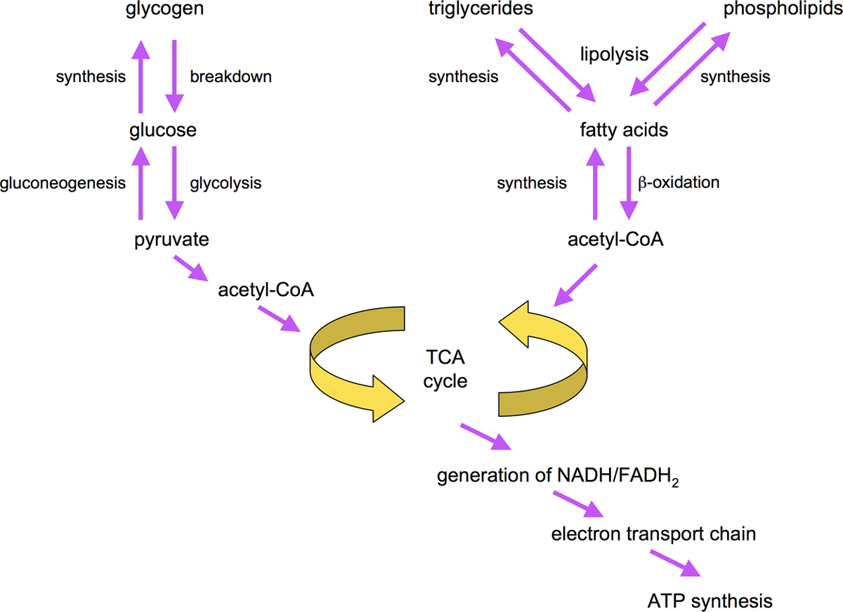 Figure 3. Overview of fat and sugar synthesis and breakdown pathways.
