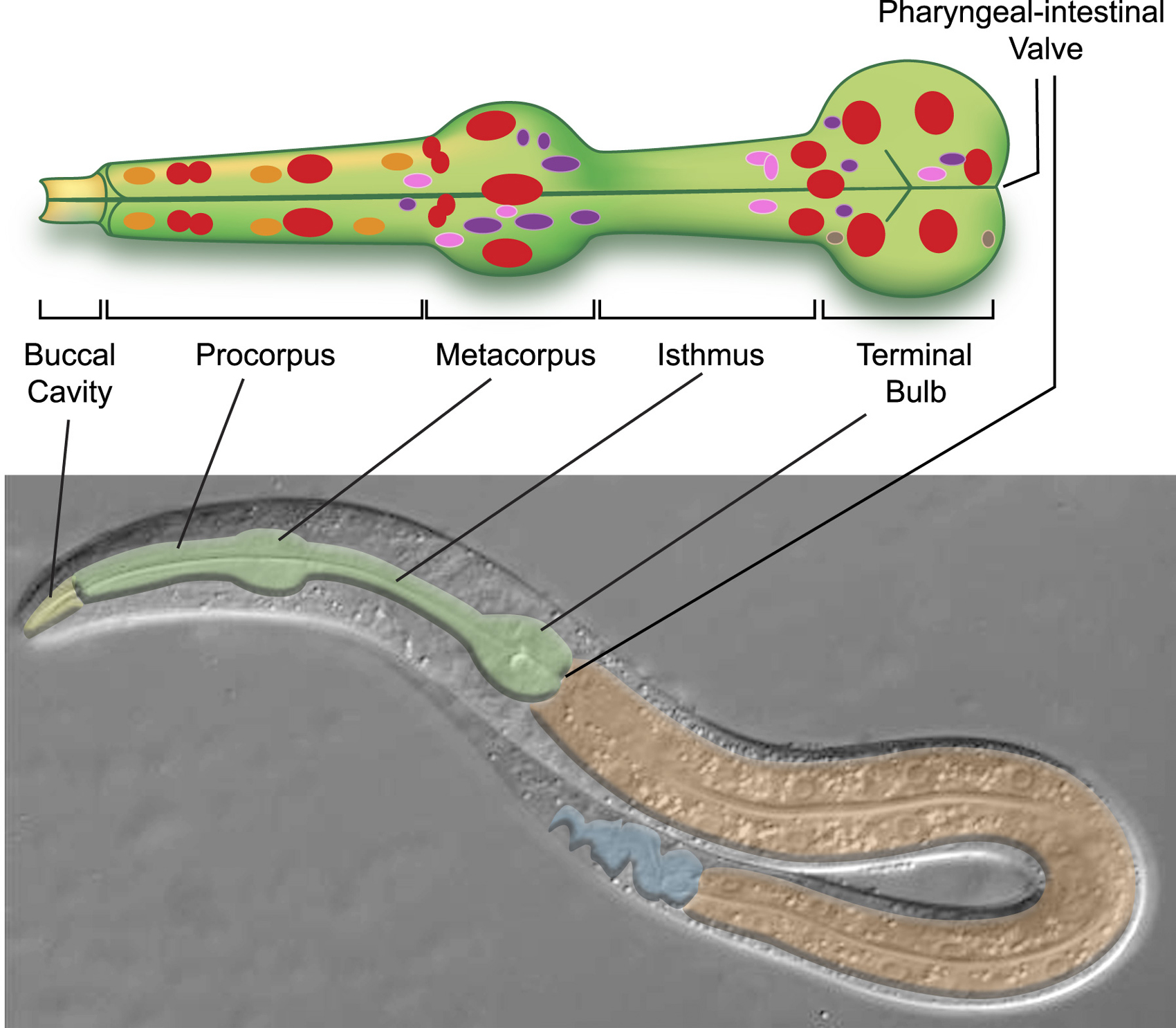The C. elegans pharynx: a model for organogenesis