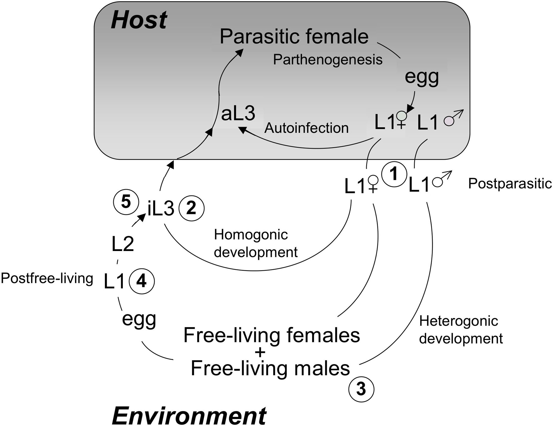 Strongyloides stercoralis: a model for translational research on ...