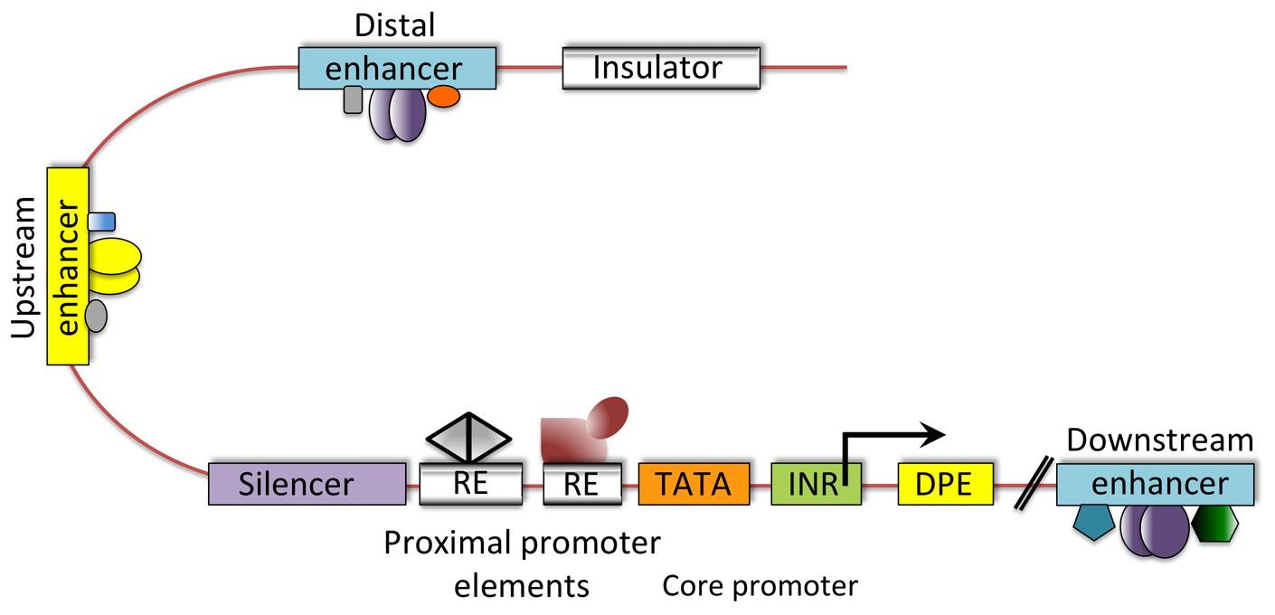 Transcriptional Gene Expression Gene Expression