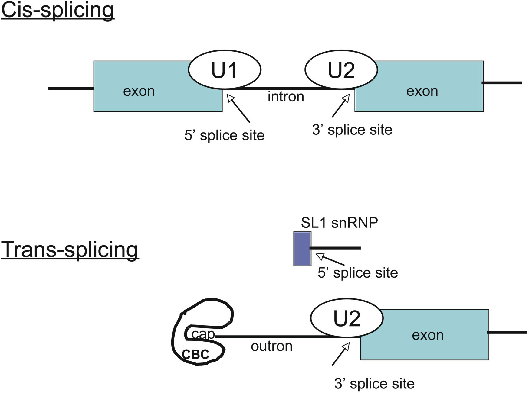 Trans-splicing and operons