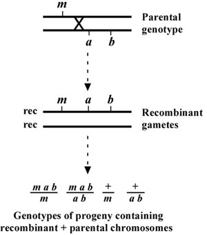 Genetic mapping and manipulation: Chapter 2-Two-point ...