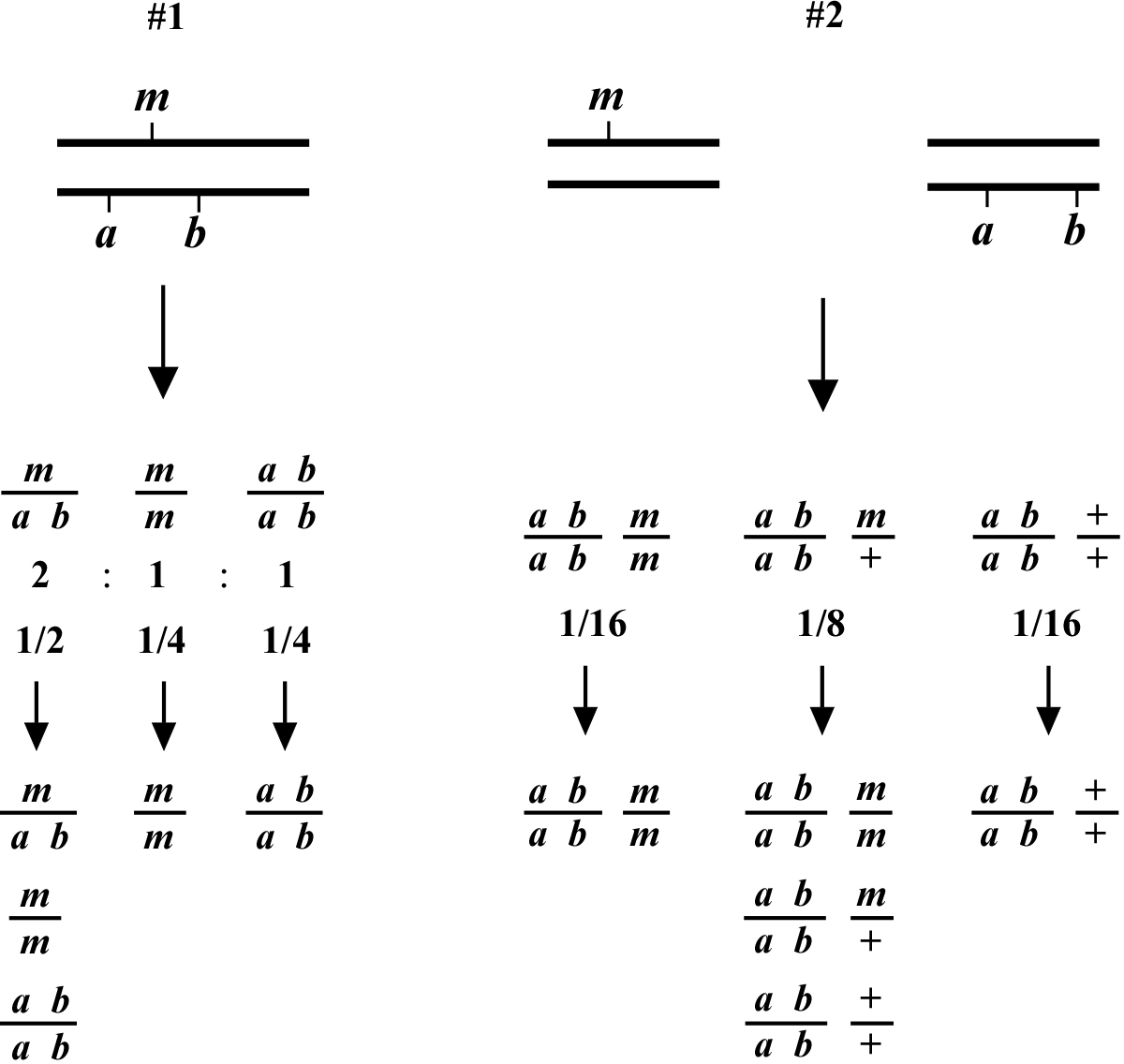 worksheet Gene Mapping Worksheet genetic mapping and manipulation chapter 2 two point with markers figure 1