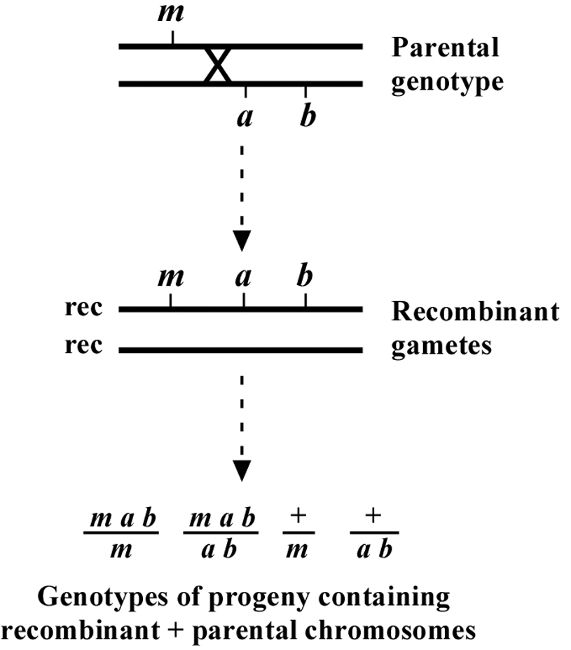 Genetic mapping and manipulation Chapter 2Twopoint mapping with – Gene Mapping Worksheet