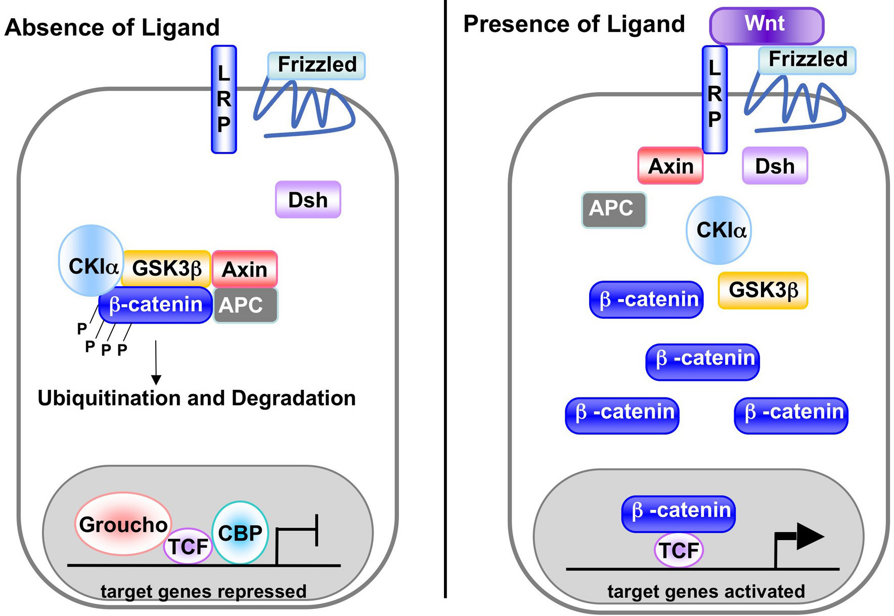 Opinions On Wnt Signaling Pathway