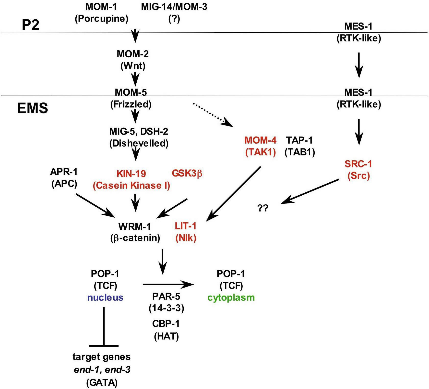 canonical notch signaling pathway Review the notch signaling pathway: transcriptional regulation at notch target genes t borggrefe1,  and f oswald2 1department of cellular and molecular immunology.